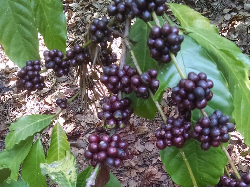 indien-craigmore-estatereife-kaffeekirschen-mondo-del-caffe-spitzenkaffee-fair-gehandelt-online-800-600
